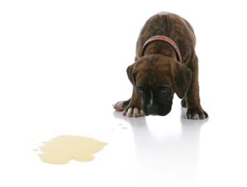 puppy-boxer-pee-urinate-accident