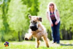 Running dog on green grass